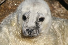 Seal pup beginning to moult