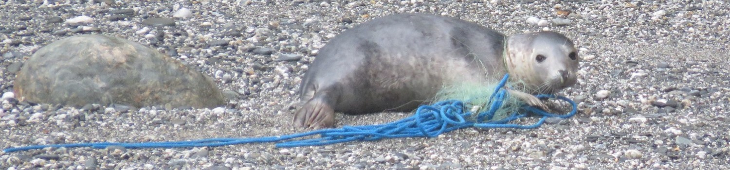 2015 04 25 2 entangled seals rescued c Sue Sayer www.cornwallsealgroup.co.uk (8)