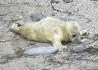 2015 09 03 first grey seal pup rescue of season in Cornwall (3) Suckling the sand