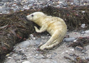 2015 09 03 first grey seal pup rescue of season in Cornwall (4) Suckling seaweed