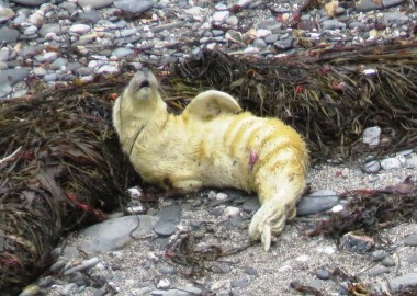 2015 09 03 first grey seal pup rescue of season in Cornwall (4c) Still howling for Mum