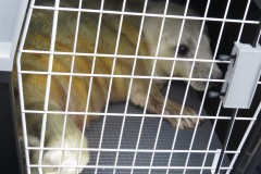 2015 09 03 first grey seal pup rescue of season in Cornwall (8) Feisty seal pup in transit cage in Dave Jarvis' car