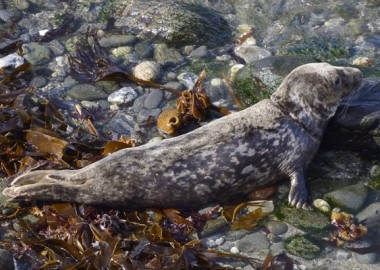 Juvenile Grey seal (Halichoerus grypus) Beast, identifible by its unique coat pattern, treated, rehabilitated and released as a pup by the Cornish Seal Sanctuuary 8 months earlier, with healed rope scars around its neck, entering the sea from a stony beach, North Cornwall, UK, September.