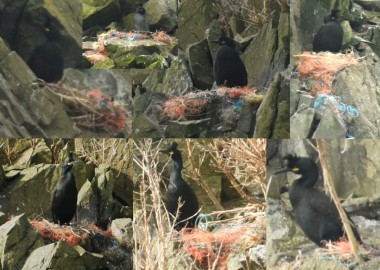 Shags with ghost gear nests