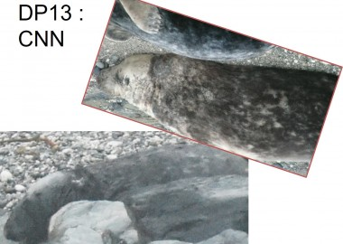 Seal identified on CASPIP survey