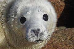 grey-seal-pup-copyright-sue-sayer-www-cornwallsealgroup-co-uk