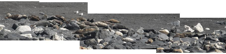 4 Seals hauled out in April 61