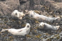 7 Such beautiful seals hauled ona na offshore island - a male with three girlies2
