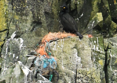 4 Shag with lost fishing gear nest