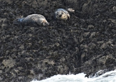 2 Seals on offshore rocks