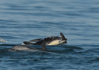 5 Common dolphin