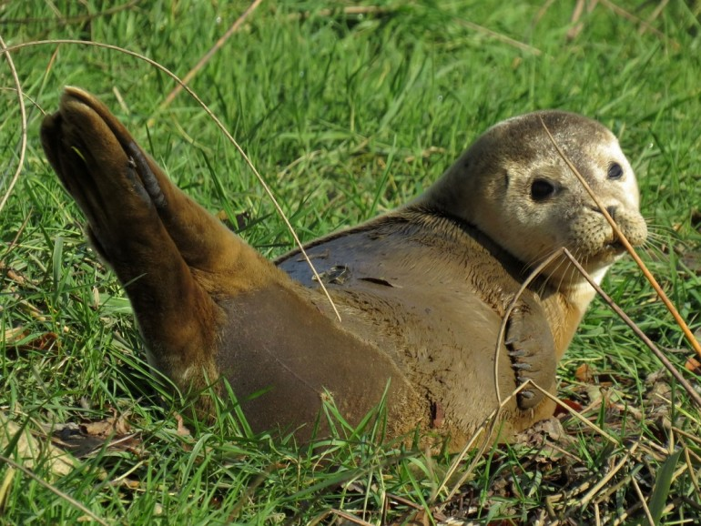 2019 11 05 Fowey Rupert Kirkwood seal tag NL672 from Holland