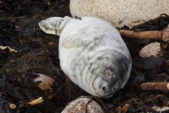 Willow the three week old moulted seal pup c Sue Sayer CSGRT